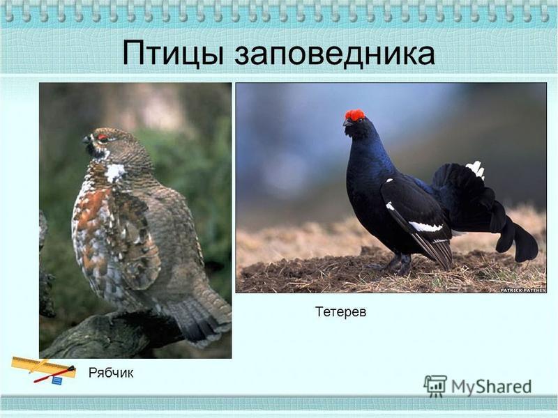 Птицы заповедника Рябчик Тетерев
