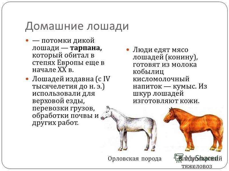 Домашние лошади потомки дикой лошади тарпана, который обитал в степях Европы еще в начале XX в. Лошадей издавна ( с IV тысячелетия до н. э.) использовали для верховой езды, перевозки грузов, обработки почвы и других работ. Люди едят мясо лошадей ( ко