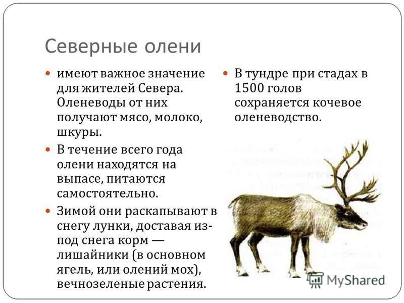 Северные олени имеют важное значение для жителей Севера. Оленеводы от них получают мясо, молоко, шкуры. В течение всего года олени находятся на выпасе, питаются самостоятельно. Зимой они раскапывают в снегу лунки, доставая из - под снега корм лишайни