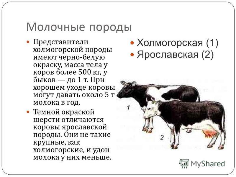 Молочные породы Представители холмогорской породы имеют черно - белую окраску, масса тела у коров более 500 кг, у быков до 1 т. При хорошем уходе коровы могут давать около 5 т молока в год. Темной окраской шерсти отличаются коровы ярославской породы.