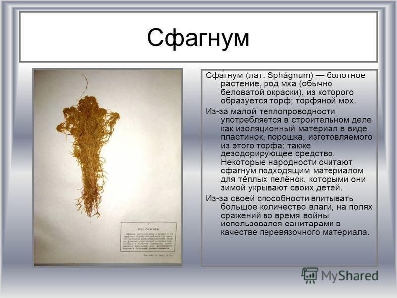 Сфагном Сфа́гном (лат. Sphágnum) болотное растение, род мха (обычно беловатой окраски), из которого образуется торф; торфяной мох. Из-за малой теплопроводности употребляется в строительном деле как иизоляционный материал в виде пластинок, порошка, из