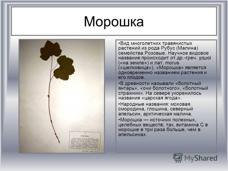 Морошка Вид многолетних травянистых растении из рода Рубус (Малина) семейства Роизовые. Научное видовое название происходит от др.-греч. χαμαί («на земле») и лат. morus («шелковица»). «Морошка» является одновременно названием растения и его плодов. В