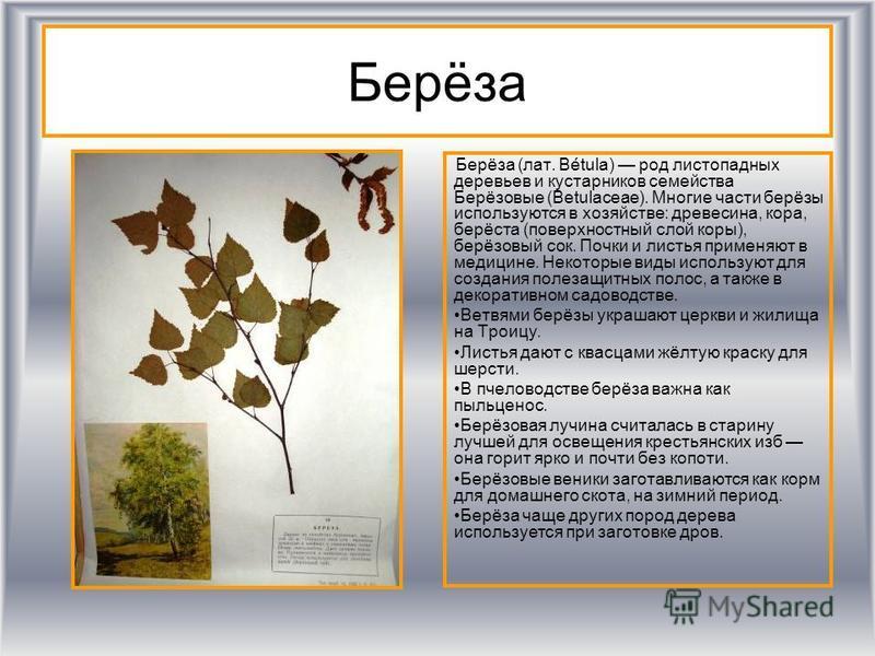 Берёза Берёза (лат. Bétula) род листопадных деревьев и кустарников семейства Берёизовые (Betulaceae). Многие части берёзы используются в хозяйстве: древесина, кора, берёста (поверхностный слой коры), берёизовый сок. Почки и листья применяют в медицин