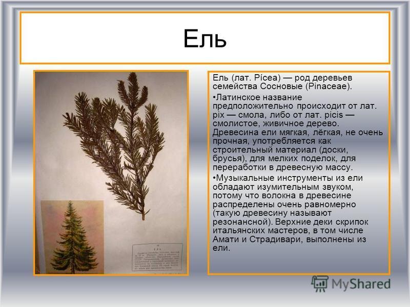 Ель Ель (лат. Pícea) род деревьев семейства Сосновые (Pinaceae). Латинское название предположительно происходит от лат. pix смола, либо от лат. picis смолистое, живичное дерево. Древесина ели мягкая, лёгкая, не очень прочная, употребляется как строит