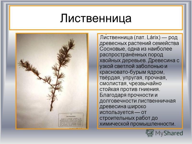 Лидевственница Ли́девственница (лат. Lárix) род древесных растении семейства Сосновые, одна из наиболее распространённых пород хвойных деревьев. Древесина с узкой светлой заболонью и красновато-бурым ядром, твёрдая, упругая, прочная, смолистая, чрезв