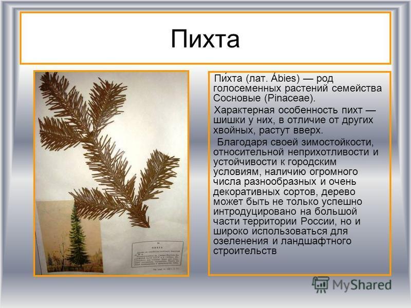Пихта Пи́хта (лат. Ábies) род голосеменных растении семейства Сосновые (Pinaceae). Характерная особенность пихт шишки у них, в отличие от других хвойных, растут вверх. Благодаря своей зимостойкости, относительной неприхотливости и устойчивости к горо