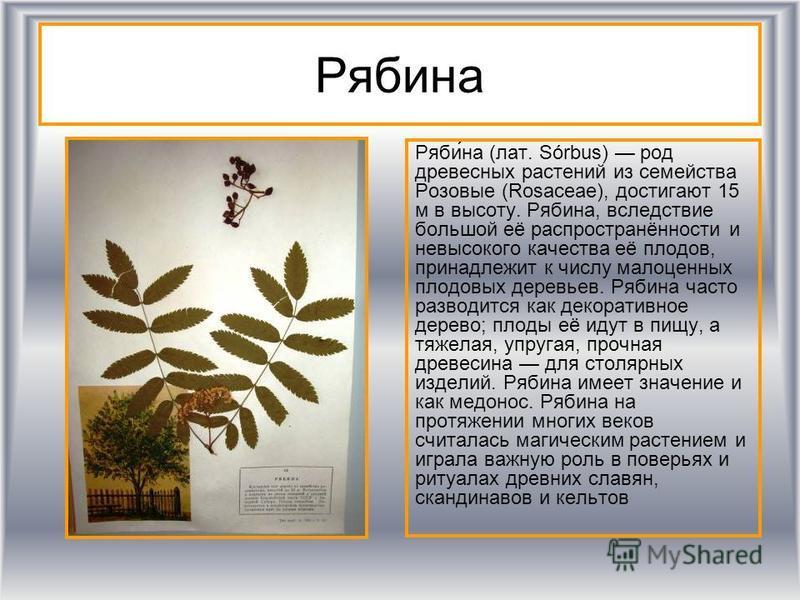 Рябина Ряби́на (лат. Sórbus) род древесных растении из семейства Роизовые (Rosaceae), достигают 15 м в высоту. Рябина, вследствие большой её распространённости и невысокого качества её плодов, принадлежит к числу малоценных плодовых деревьев. Рябина