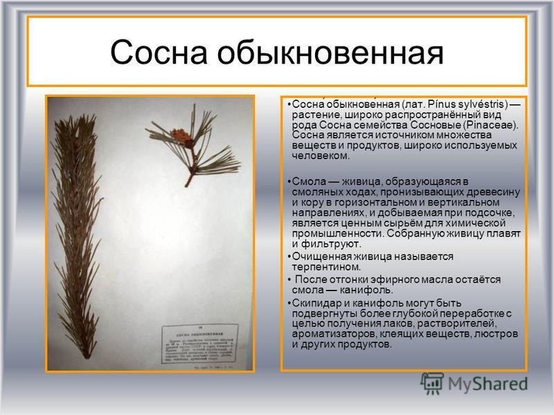 Сосна обыкновенная Сосна́ обыкнове́нная (лат. Pínus sylvéstris) растение, широко распространённый вид рода Сосна семейства Сосновые (Pinaceae). Сосна является источником множества веществ и продуктов, широко используемых человеком. Смола живица, обра