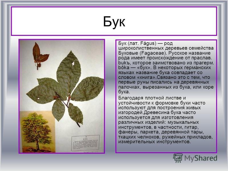Бук Бук (лат. Fágus) род широколиственных деревьев семейства Буковые (Fagaceae). Русское название рода имеет происхождение от праслав. bukъ, которое заимствовано из прагерм. bôka «бук». В некоторых германских языках название бука совпадает со словом