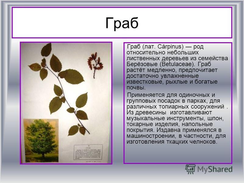 Граб Граб (лат. Cárpinus) род относительно небольших лиственных деревьев из семейства Берёизовые (Betulaceae). Граб растёт медленно, предпочитает достаточно увлажненные известковые, рыхлые и богатые почвы. Применяется для одиночных и групповых посадо
