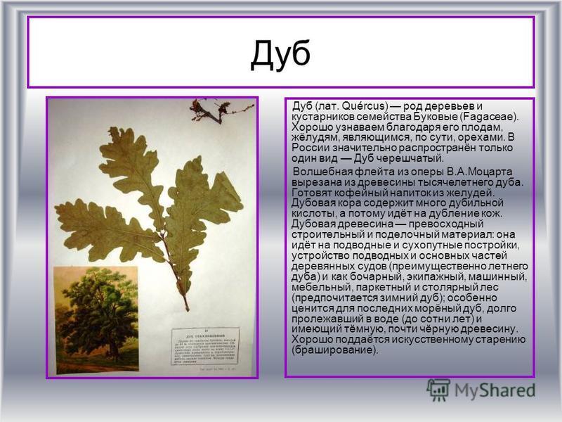 Дуб Дуб (лат. Quércus) род деревьев и кустарников семейства Буковые (Fagaceae). Хорошо узнаваем благодаря его плодам, жёлудям, являющимся, по сути, орехами. В России значительно распространён только один вид Дуб черешчатый. Волшебная флейта из оперы