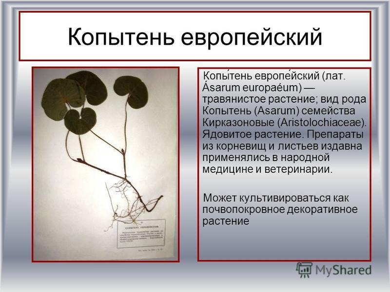 Копытень европейский Копы́тень европе́йский (лат. Ásarum europaéum) травянистое растение; вид рода Копытень (Asarum) семейства Киркаизоновые (Aristolochiaceae). Ядовитое растение. Препараты из корневищ и листьев издавна применялись в народной медицин