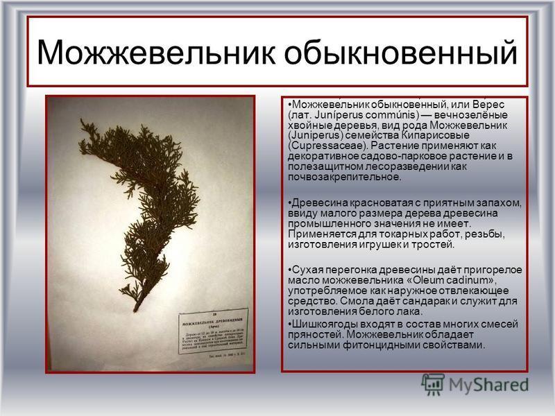 Можжевельник обыкновенный Можжеве́льник обыкнове́нный, или Ве́рес (лат. Juníperus commúnis) вечнозелёные хвойные деревья, вид рода Можжевельник (Juniperus) семейства Кипарисовые (Cupressaceae). Растение применяют как декоративное садово-парковое раст