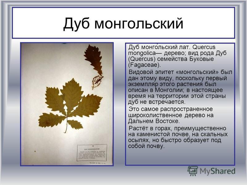 Дуб монгольский Дуб монго́льский лат. Quercus mongolica дерево; вид рода Дуб (Quercus) семейства Буковые (Fagaceae). Видовой эпитет «монгольский» был дан этому виду, поскольку первый экземпляр этого растения был описан в Монголии; в настоящее время н