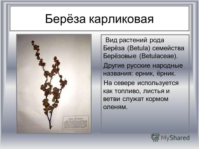 Берёза карликовая Вид растении рода Берёза (Betula) семейства Берёизовые (Betulaceae). Другие русские народные названия: ерник, ёрник. На севере используется как топливо, листья и ветви служат кормом оленям.