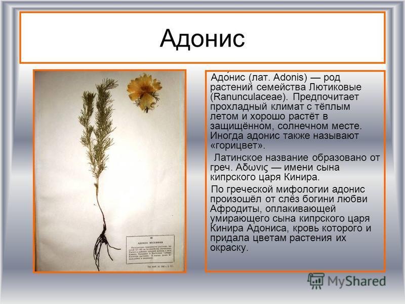Адонис Адо́нис (лат. Adonis) род растении семейства Лютиковые (Ranunculaceae). Предпочитает прохладный климат с тёплым летом и хорошо растёт в защищённом, солнечном месте. Иногда адонис также называют «горицвет». Латинское название обраизовано от гре