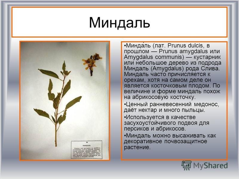 Миндаль Минда́ль (лат. Prunus dulcis, в прошлом Prunus amygdalus или Amygdalus communis) кустарник или небольшое дерево из подрода Миндаль (Amygdalus) рода Слива. Миндаль часто причисляется к орехам, хотя на самом деле он является косточковым плодом.