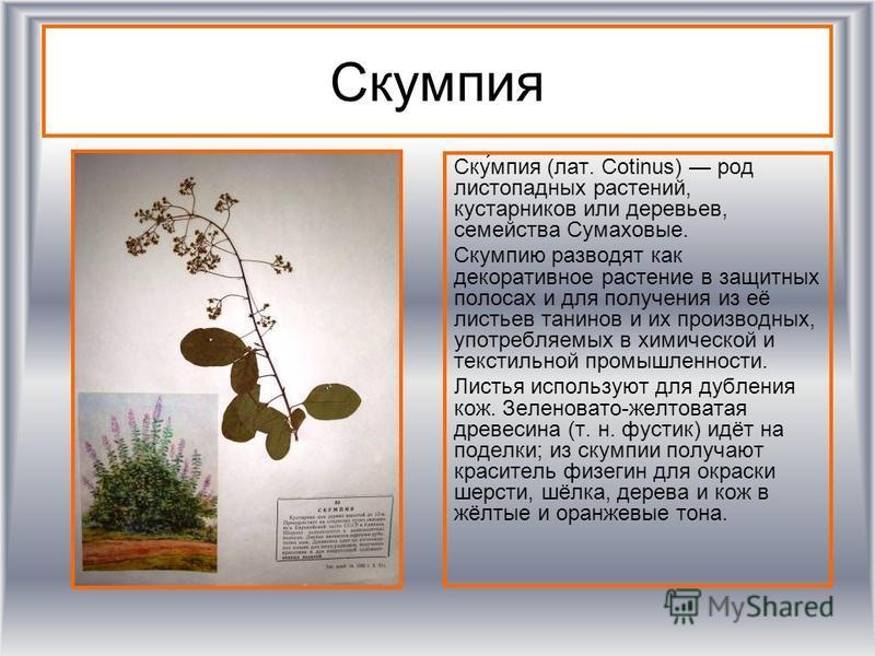 Скумпия Ску́мпия (лат. Cotinus) род листопадных растении, кустарников или деревьев, семейства Сумаховые. Скумпию разводят как декоративное растение в защитных полосах и для получения из её листьев танинов и их производных, употребляемых в химической