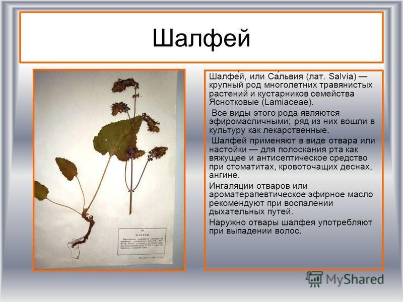 Шалфей Шалфе́й, или Са́львия (лат. Salvia) крупный род многолетних травянистых растении и кустарников семейства Яснотковые (Lamiaceae). Все виды этого рода являются эфиромасличными; ряд из них вошли в культуру как лекарственные. Шалфей применяют в ви