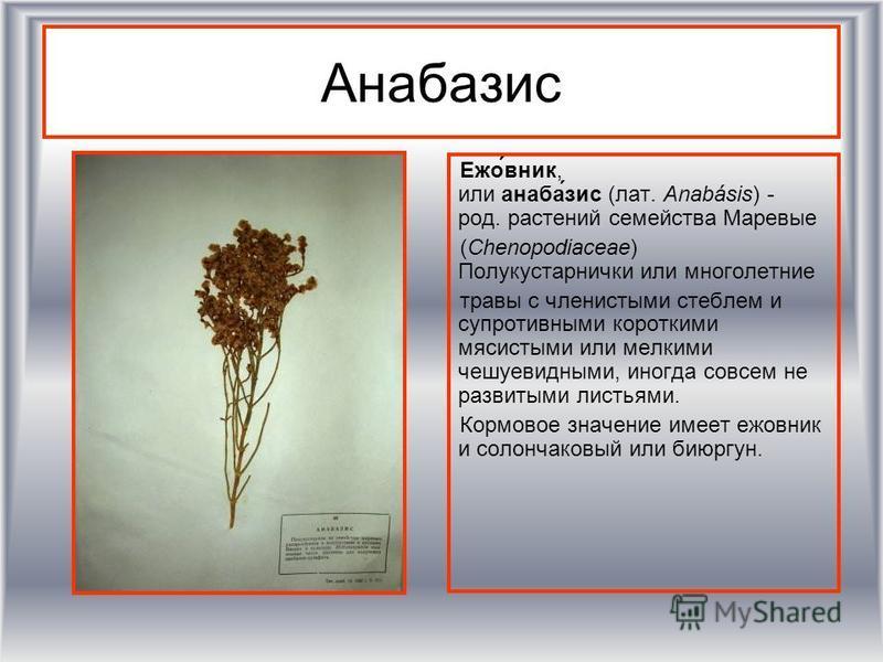 Анабазис Ежо́вник, или анаба́зис (лат. Anabásis) - род. растении семейства Маревые (Chenopodiaceae) Полукустарнички или многолетние травы с членистыми стеблем и супротивными короткими мясистыми или мелкими чешуевидными, иногда совсем не развитыми лис
