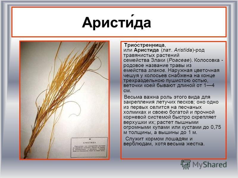 Аристи́да Трио́стренница, или Аристи́да (лат. Aristída)-род травянистых растении семейства Злаки (Poaceae). Колосовка - родовое название травы из емейства злаков. Наружная цветочная чешуя у колосьев снабжена на конце трехраздельною пушистою остью, ве