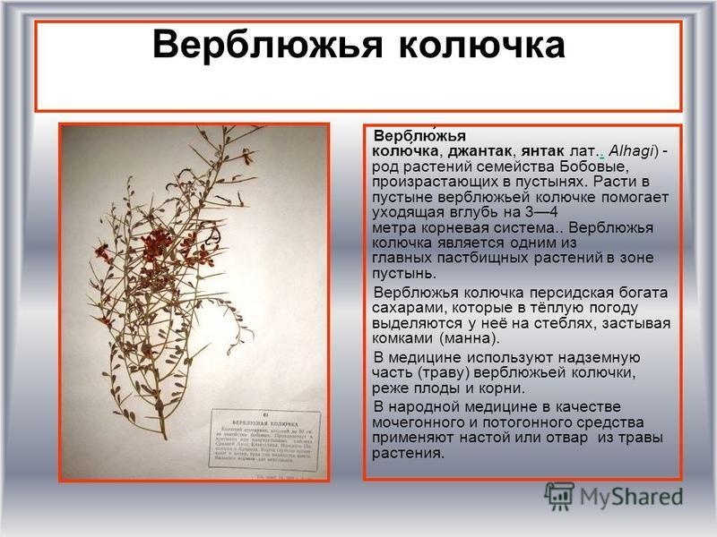 Верблюжья колючка Верблю́жья колю́чка, джантак, янтак лат.. Alhagi) - род растении семейства Бобовые, произрастающих в пустынях. Расти в пустыне верблюжьей колючке помогает уходящая вглубь на 34 метра корневая система.. Верблюжья колючка является одн