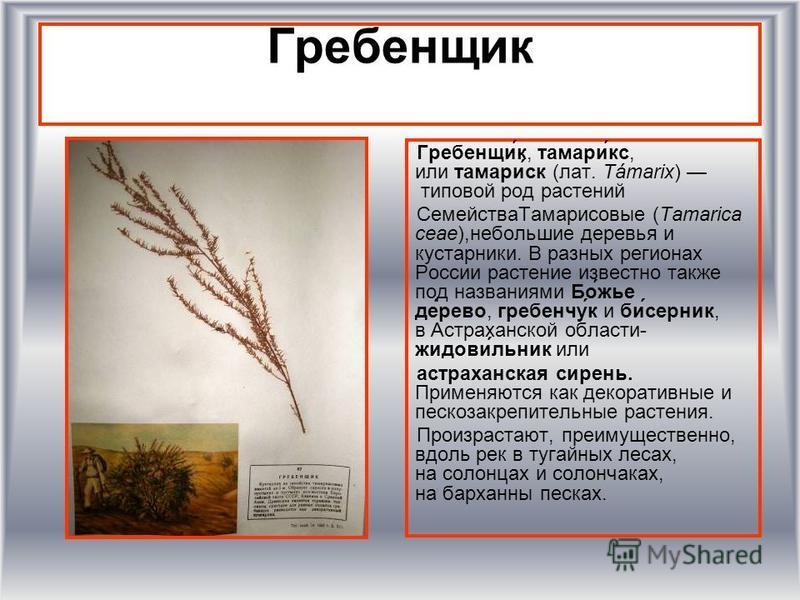 Гребенщик Гребенщи́к, тамари́кс, или тамари́ск (лат. Támarix) типовой род растении Семейства Тамарисовые (Tamarica ceae),небольшие деревья и кустарники. В разных регионах России растение известно также под названиями Бо́жье де́рево, гребенчу́к и би́с
