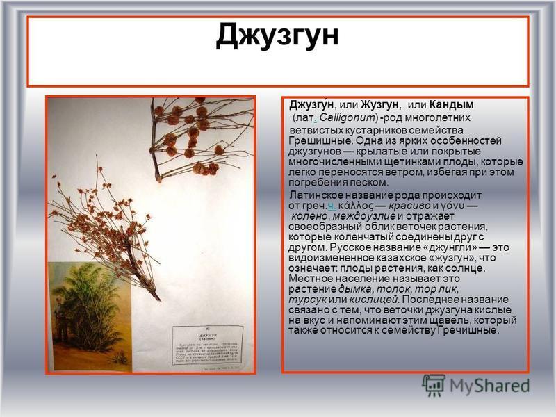 Джузгун Джузгу́н, или Жузгун, или Кандым (лат. Calligonum) -род многолетних. ветвистых кустарников семейства Грешишные. Одна из ярких особенностей джузгунов крылатые или покрытые многочисленными щетинками плоды, которые легко переносятся ветром, избе