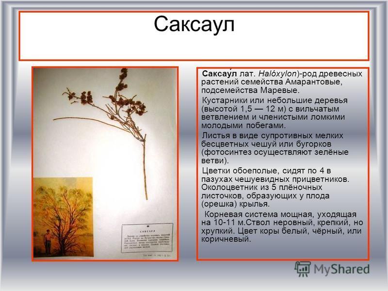 Саксаул Саксау́л лат. Halóxylon)-род древесных растении семейства Амарантовые, подсемейства Маревые. Кустарники или небольшие деревья (высотой 1,5 12 м) с вильчатым ветвлением и членистыми ломкими молодыми побегами. Листья в виде супротивных мелких б