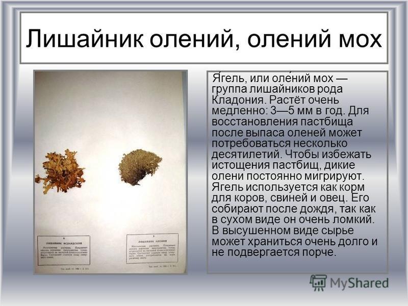 Лишайник олении, олении мох Я́гель, или оле́нии мох группа лишайников рода Кладония. Растёт очень медленно: 35 мм в год. Для восстановления пастбища после выпаса оленей может потребоваться несколько десятилетий. Чтобы избежать истощения пастбищ, дики