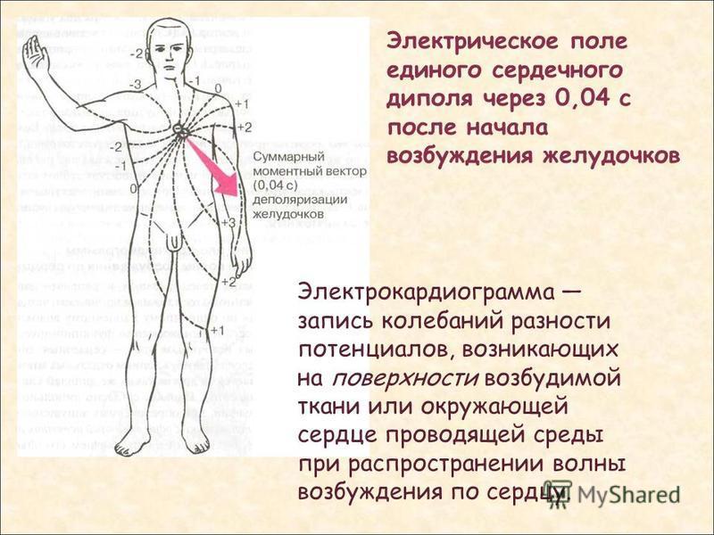 Электрическое поле единого сердечного диполя через 0,04 с после начала возбуждения желудочков Электрокардиограмма запись колебаний разности потенциалов, возникающих на поверхности возбудимой ткани или окружающей сердце проводящей среды при распростра