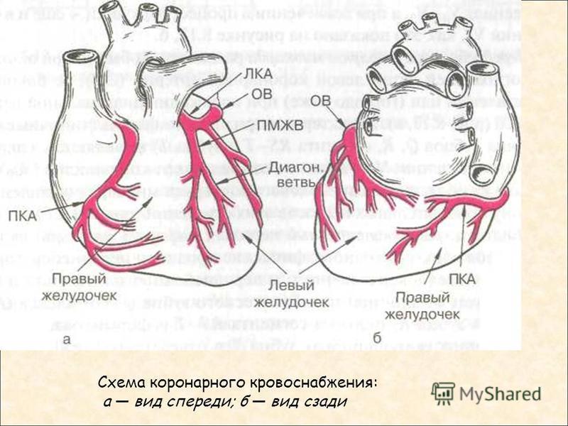 Схема коронарного кровоснабжения: а вид спереди; б вид сзади