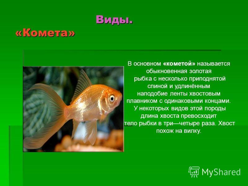 Виды. «Комета» Виды. «Комета» В основном «кометой» называется обыкновенная золотая рыбка с несколько приподнятой спиной и удлинённым наподобие ленты хвостовым плавником с одинаковыми концами. У некоторых видов этой породы длина хвоста превосходит тел
