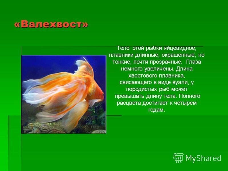 «Валехвост» Тело этой рыбки яйцевидное, плавники длинные, окрашенные, но тонкие, почти прозрачные. Глаза немного увеличены. Длина хвостового плавника, свисающего в виде вуали, у породистых рыб может превышать длину тела. Полного расцвета достигает к