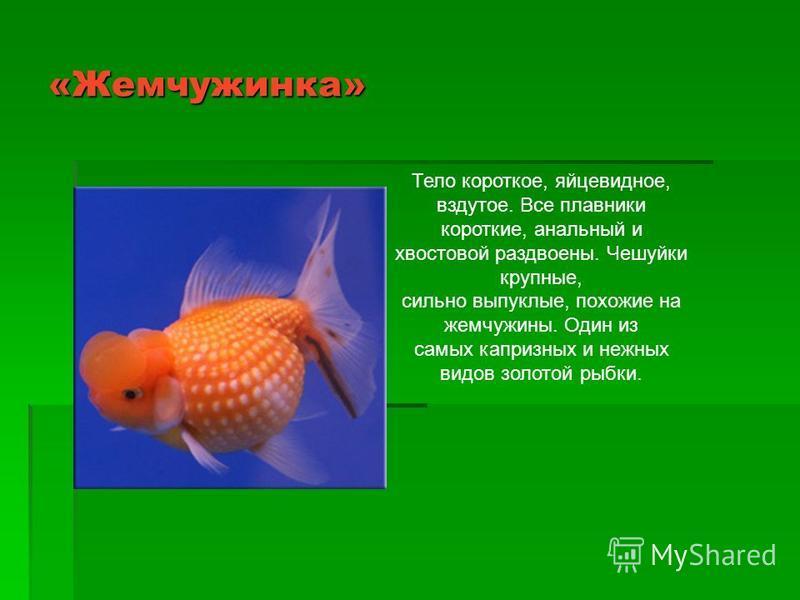 «Жемчужинка» Тело короткое, яйцевидное, вздутое. Все плавники короткие, анальный и хвостовой раздвоены. Чешуйки крупные, сильно выпуклые, похожие на жемчужины. Один из самых капризных и нежных видов золотой рыбки.