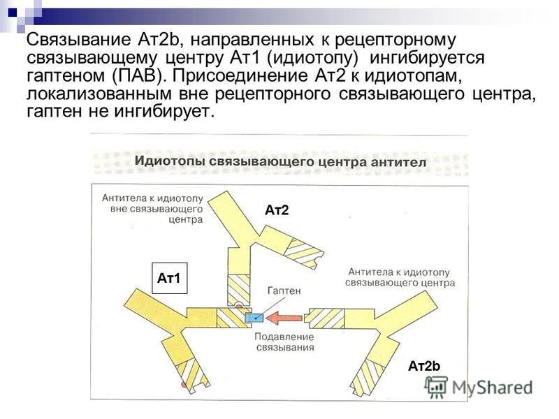 Связывание Ат 2b, направленных к рецепторному связывающему центру Ат 1 (идиотопу) ингибируется гаптеном (ПАВ). Присоединение Ат 2 к идиотопам, локализованным вне рецепторного связывающего центра, гаптен не ингибирует. Ат 1 Ат 2 Ат 2b