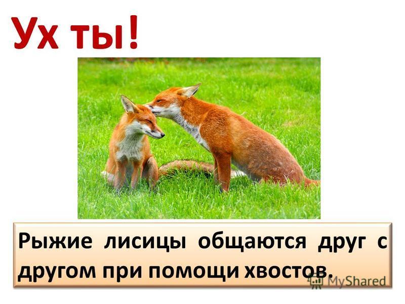 Ух ты! Рыжие лисицы общаются друг с другом при помощи хвостов.