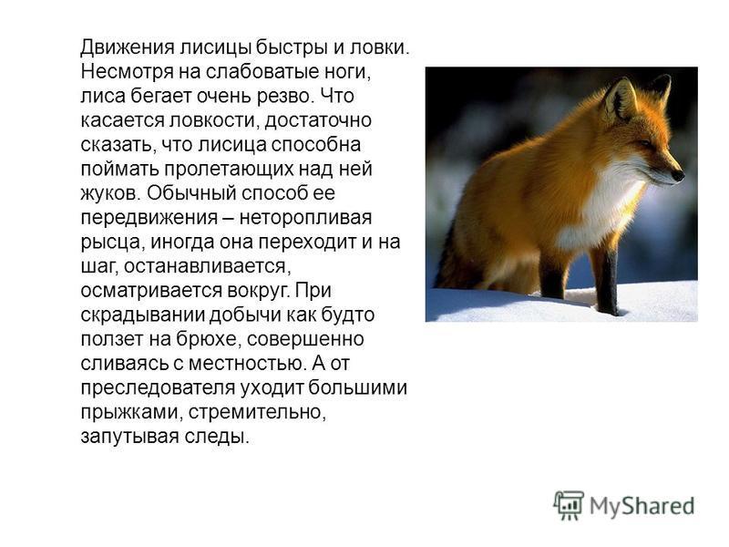 Движения лисицы быстры и ловки. Несмотря на слабоватые ноги, лиса бегает очень резво. Что касается ловкости, достаточно сказать, что лисица способна поймать пролетающих над ней жуков. Обычный способ ее передвижения – неторопливая рысца, иногда она пе