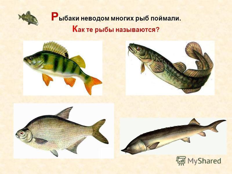 Р ыбаки неводом многих рыб поймали. К ак те рыбы называются?