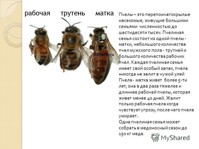 Пчелы – это перепончатокрылые насекомые, живущие большими семьями численностью до шестидесяти тысяч. Пчелиная семья состоит из одной пчелы - матки, небольшого количества пчел мужского пола - трутней и большого количества рабочих пчел. Каждая пчелиная