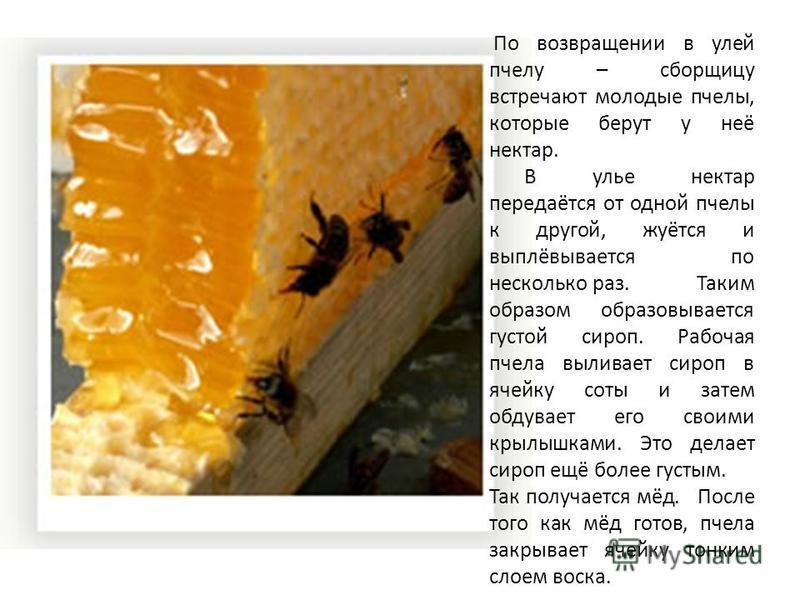 По возвращении в улей пчелу – сборщицу встречают молодые пчелы, которые берут у неё нектар. В улье нектар передаётся от одной пчелы к другой, жуётся и выплёвывается по несколько раз. Таким образом образовывается густой сироп. Рабочая пчела выливает с