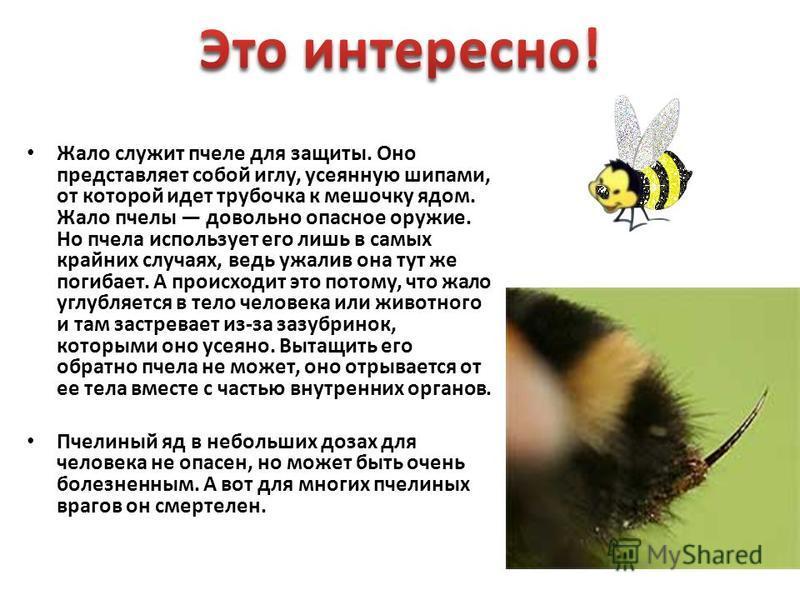Жало служит пчеле для защиты. Оно представляет собой иглу, усеянную шипами, от которой идет трубочка к мешочку ядом. Жало пчелы довольно опасное оружие. Но пчела использует его лишь в самых крайних случаях, ведь ужалив она тут же погибает. А происход
