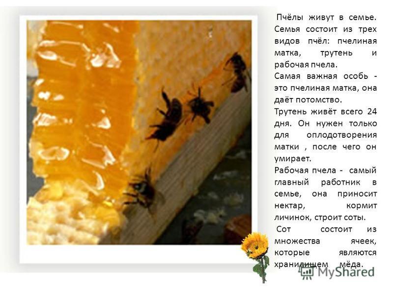 Пчёлы живут в семье. Семья состоит из трех видов пчёл: пчелиная матка, трутень и рабочая пчела. Самая важная особь - это пчелиная матка, она даёт потомство. Трутень живёт всего 24 дня. Он нужен только для оплодотворения матки, после чего он умирает.