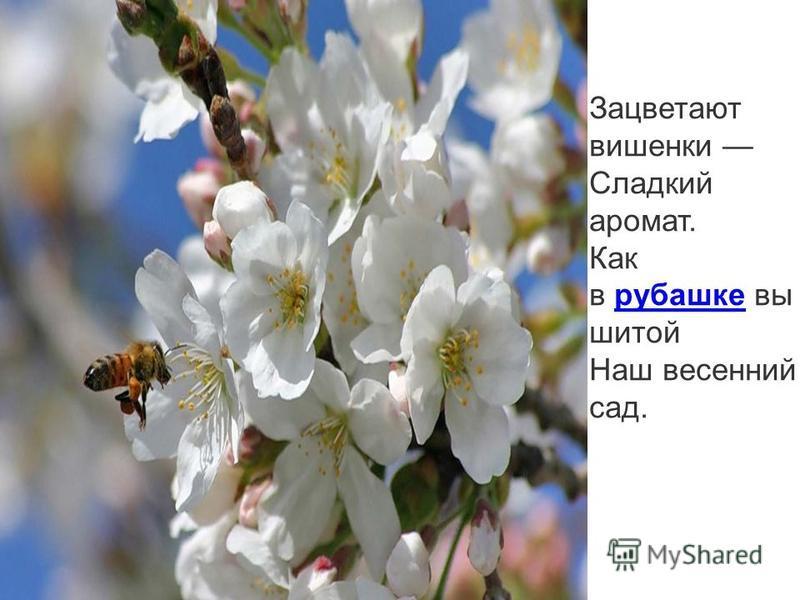 Зацветают вишенки Сладкий аромат. Как в рубашке вышитой рубашке Наш весенний сад.