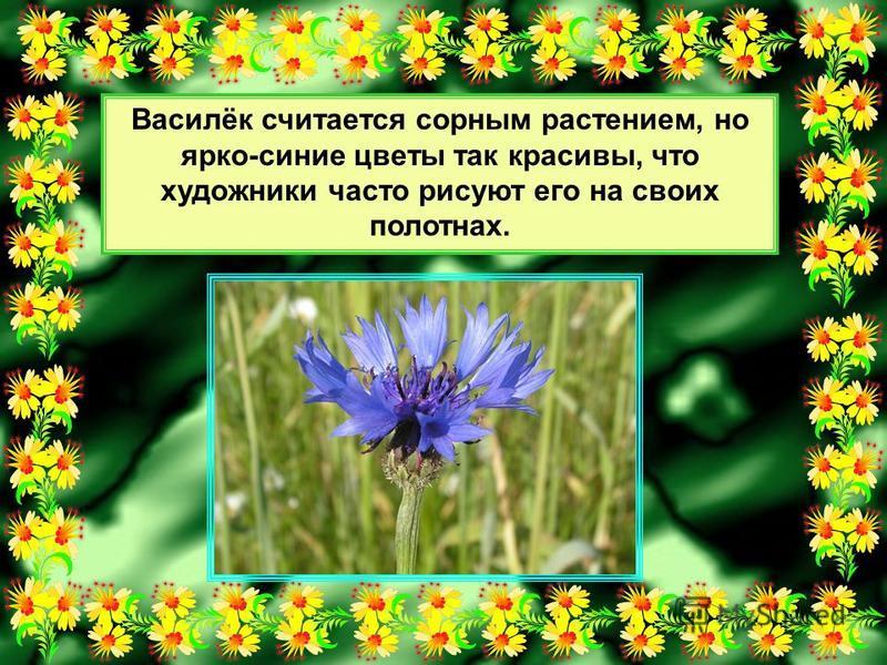 Василёк считается сорным растением, но ярко-синие цветы так красивы, что художники часто рисуют его на своих полотнах.