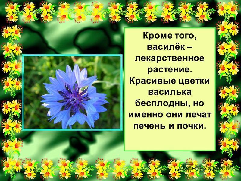 Кроме того, василёк – лекарственное растение. Красивые цветки василька бесплодны, но именно они лечат печень и почки.