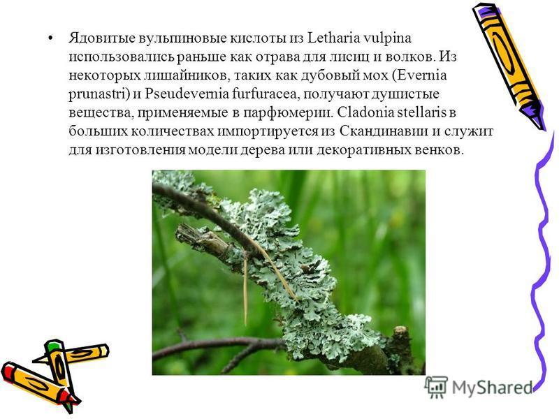 Ядовитые вульпиновые кислоты из Letharia vulpina использовались раньше как отрава для лисиц и волков. Из некоторых лишайников, таких как дубовый мох (Evernia prunastri) и Pseudevernia furfuracea, получают душистые вещества, применяемые в парфюмерии.