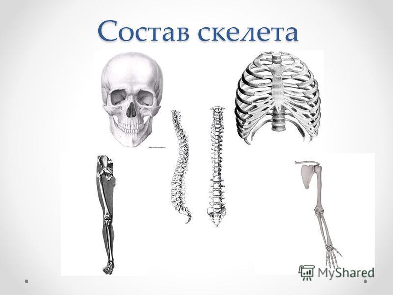 Состав скелета