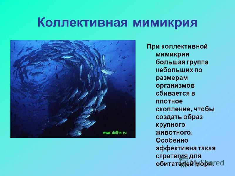 Коллективная мимикрия При коллективной мимикрии большая группа небольших по размерам организмов сбивается в плотное скопление, чтобы создать образ крупного животного. Особенно эффективна такая стратегия для обитателей моря.