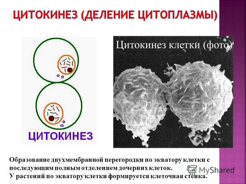 Однохроматидные (дочерние) хромосомы раскручиваются, формируется ядрышко и вокруг них образуется ядерная оболочка; на экваторе начинает формироваться перегородка; в ядрах 2n2c.
